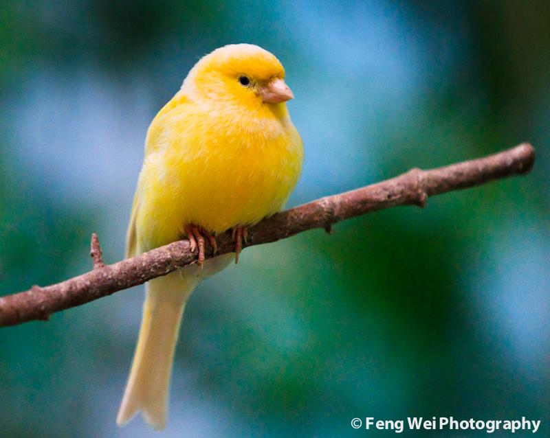 Canary (Serinus canaria)