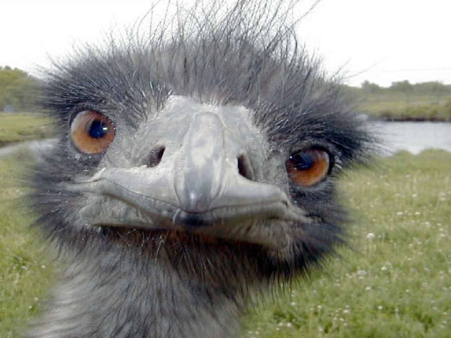 in 1932 australia waged a war against emus perry ponders